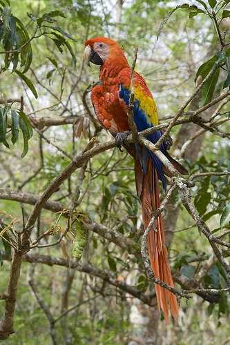 Scarlet Macaw at entrance to Copan ruins