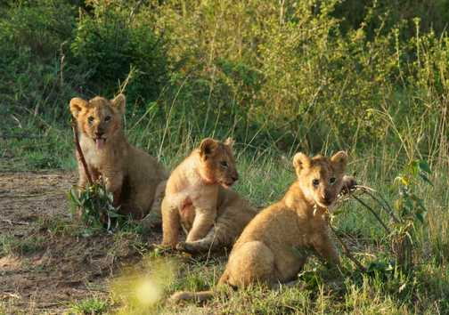 Three lion cubs at play in the Masai Mara after a good feed