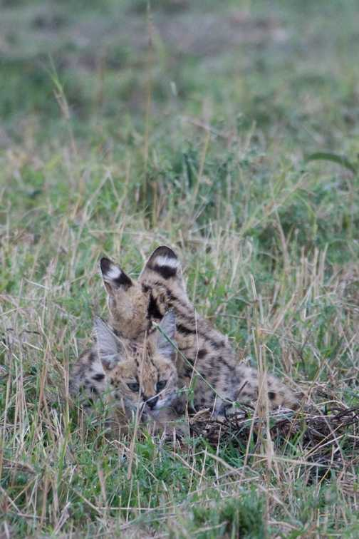 Serval Kittens