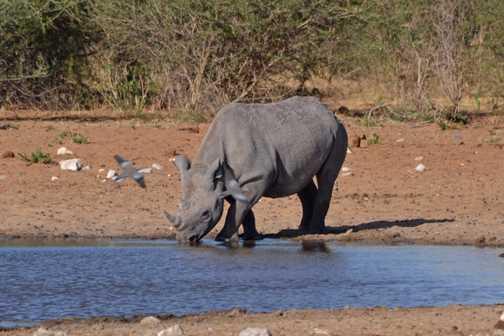 Rhino bird photo bomb