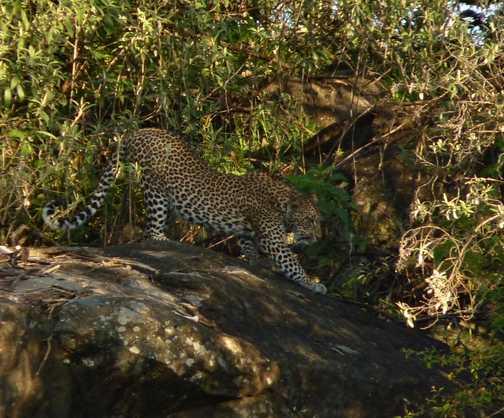 Female Leopard in Mara