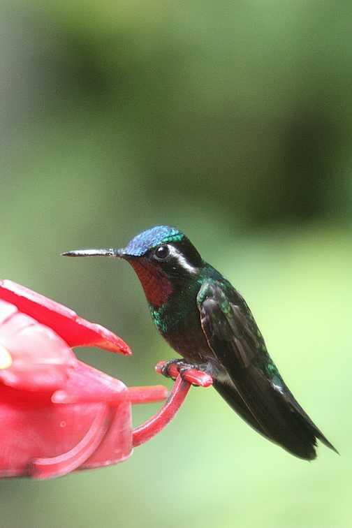 Birdwatching in Monteverde NP