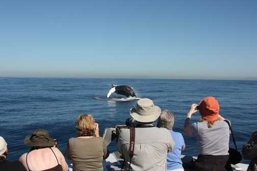 Observing Humpback Breach 1