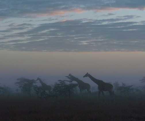 Giraffes in the mist