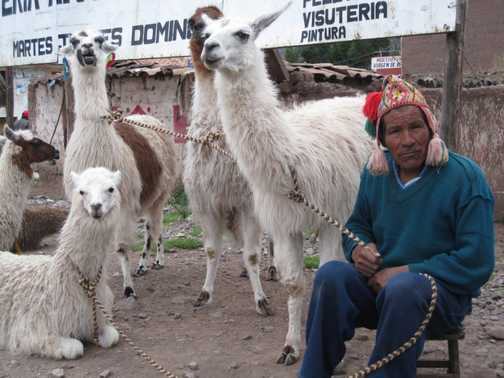 Man with his llamas