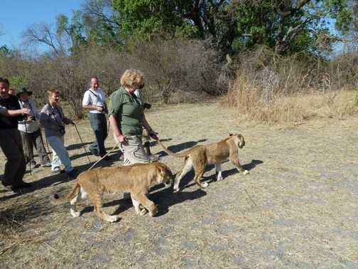 How to take a lion for a walk