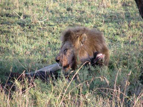 Lion's share of breakfast (Serengetti)