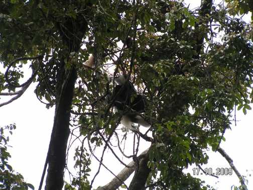 Black & White Colubus Monkey in treetops of forest