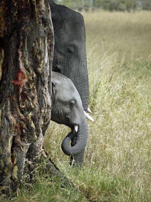 2 African Elephants