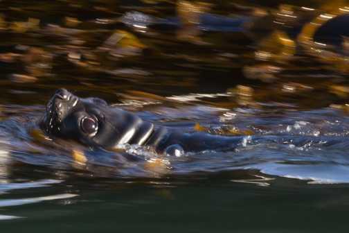 Elephant Seal at gryviken