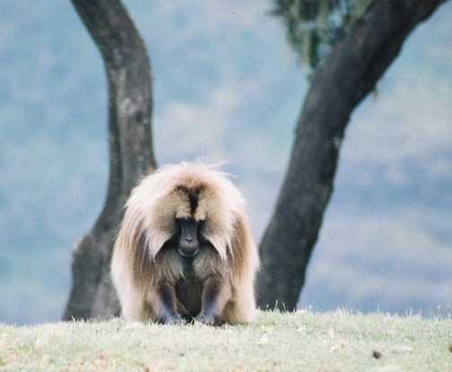 Simien baboon