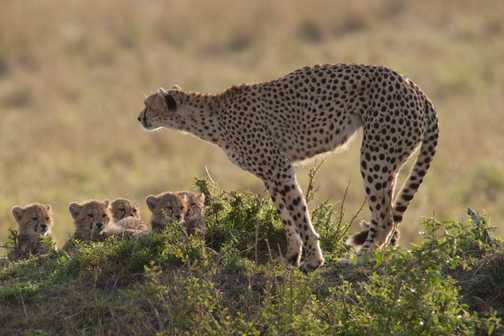 Cheetahs 1