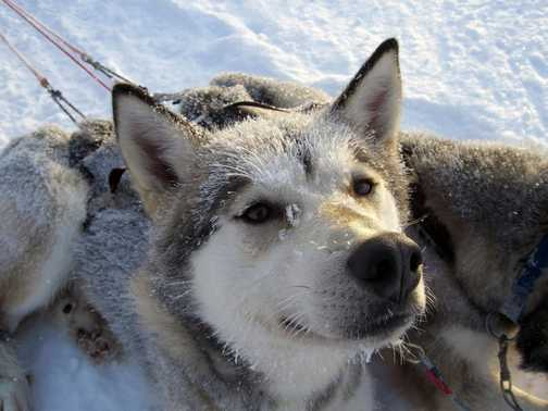 Beautiful Huskies