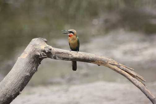White-fronted bee-eater - Linyanti