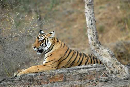 Tigress reclining