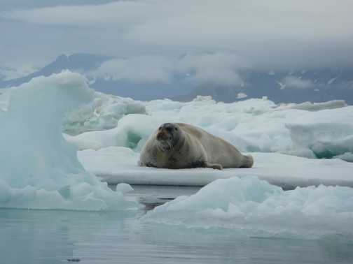 Bearded seal on floe