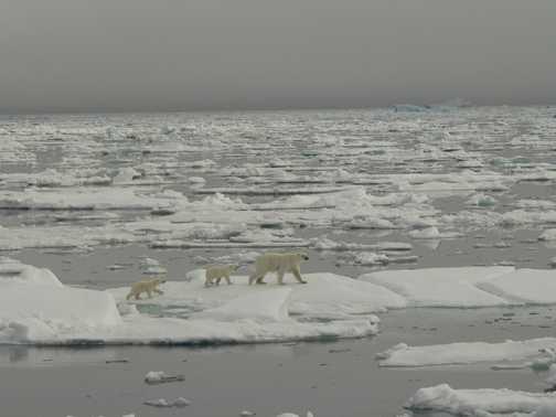 2nd Bear family walking on sea ice