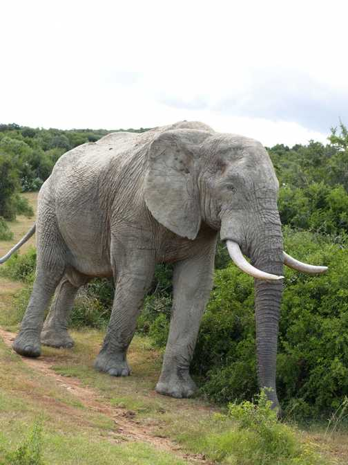 Bull Elephant in Addo