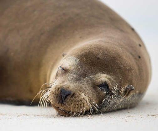 Lazy sealion