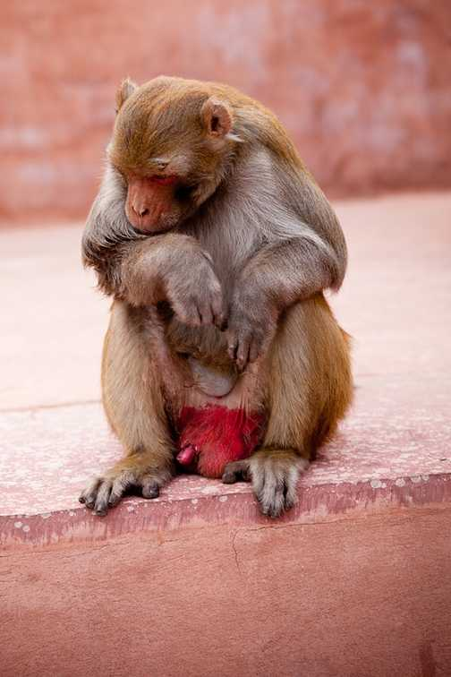 Thoughtful monkey at the Red Fort