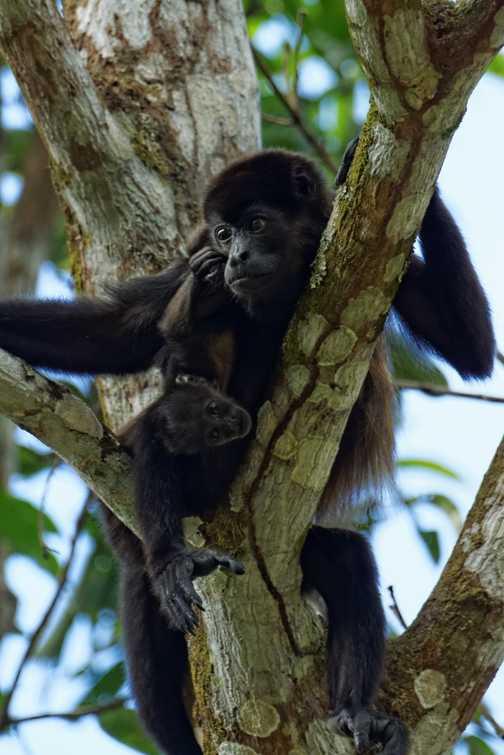 Howler Monkey mother and juvenile, Monteverde