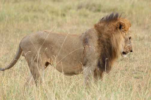 Male Lion, Masai Mara