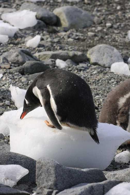 gentoo penguin keeping cool