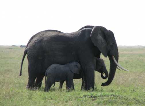 Mother & babies - Seregetti Elephants