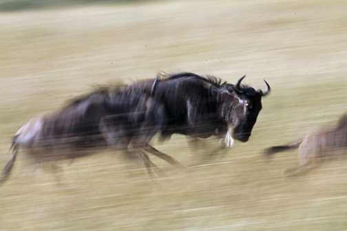 Slow Pan Wildebeest