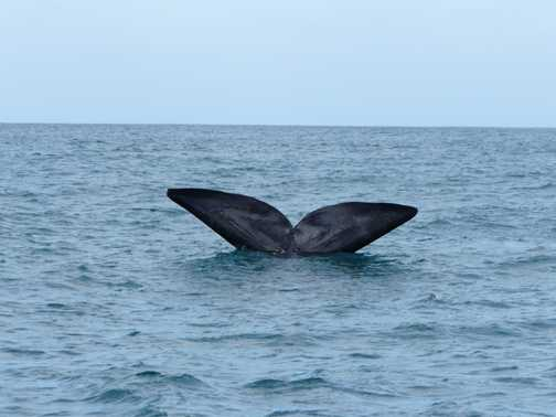 Southern Right Whale - Hermanus