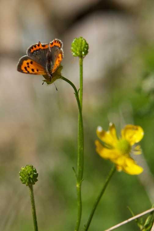 Butterflies - Small Copper