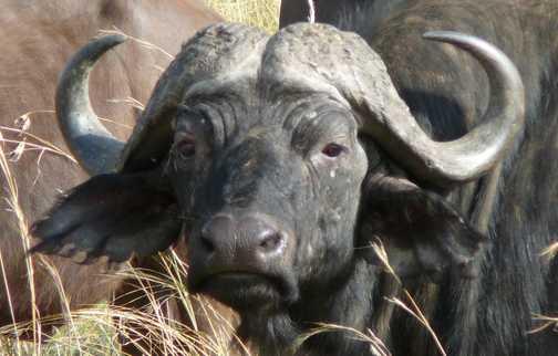 Buffalo, masai mara game reserve, Kenya