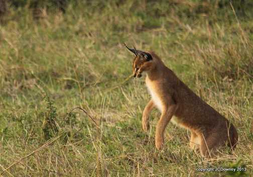 My first caracal!