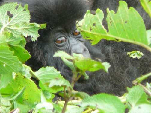 Baby gorilla, Amahoro group