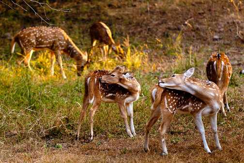 Spotted deer, dawn safari at Ranthambore