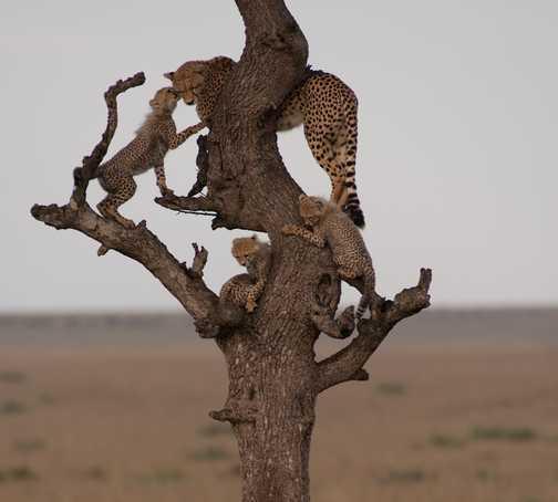 Cheetahs 4
