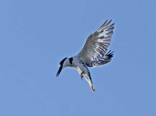 Hovering Pied Kingfisher