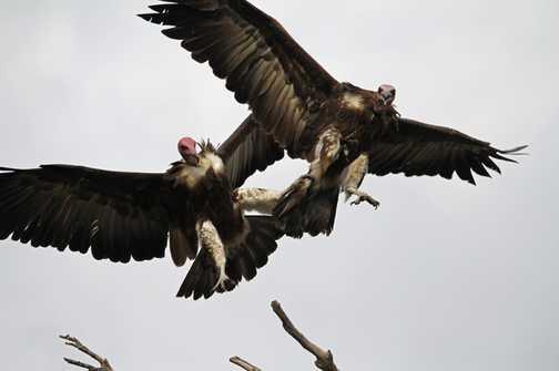 Squabbling Vultures
