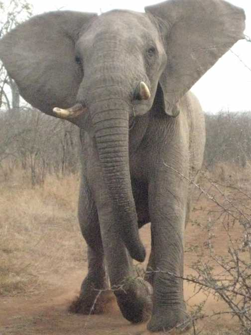 Warning charge from an elephant
