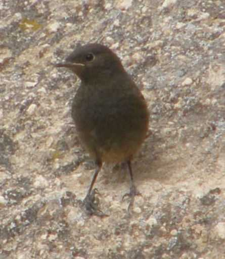 Black Redstart at Cappodocian castle