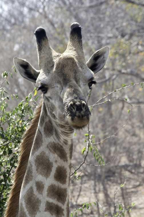 Giraffe, Chobe.