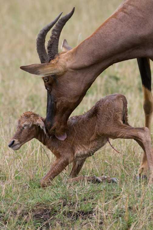 Topi birth