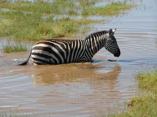Lake Nakuru ... mother zebra testing the water
