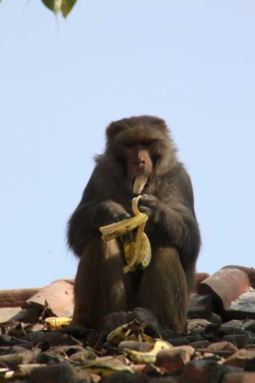 Monkey in Kathmandu