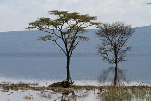 Buffalo, Lake Nakuru National Park