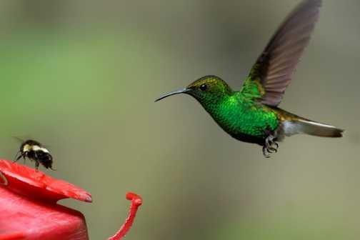 Hummingbird at feeding station, Santa Elena Cloud Forest Reserve (2)