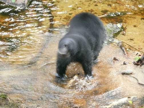 Bear Shaking