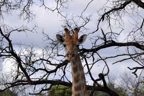 Hello Mr Giraffe