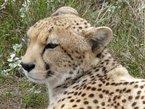 Cheetah at Tenikwa