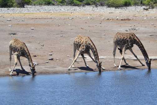 Thirsty giraffe